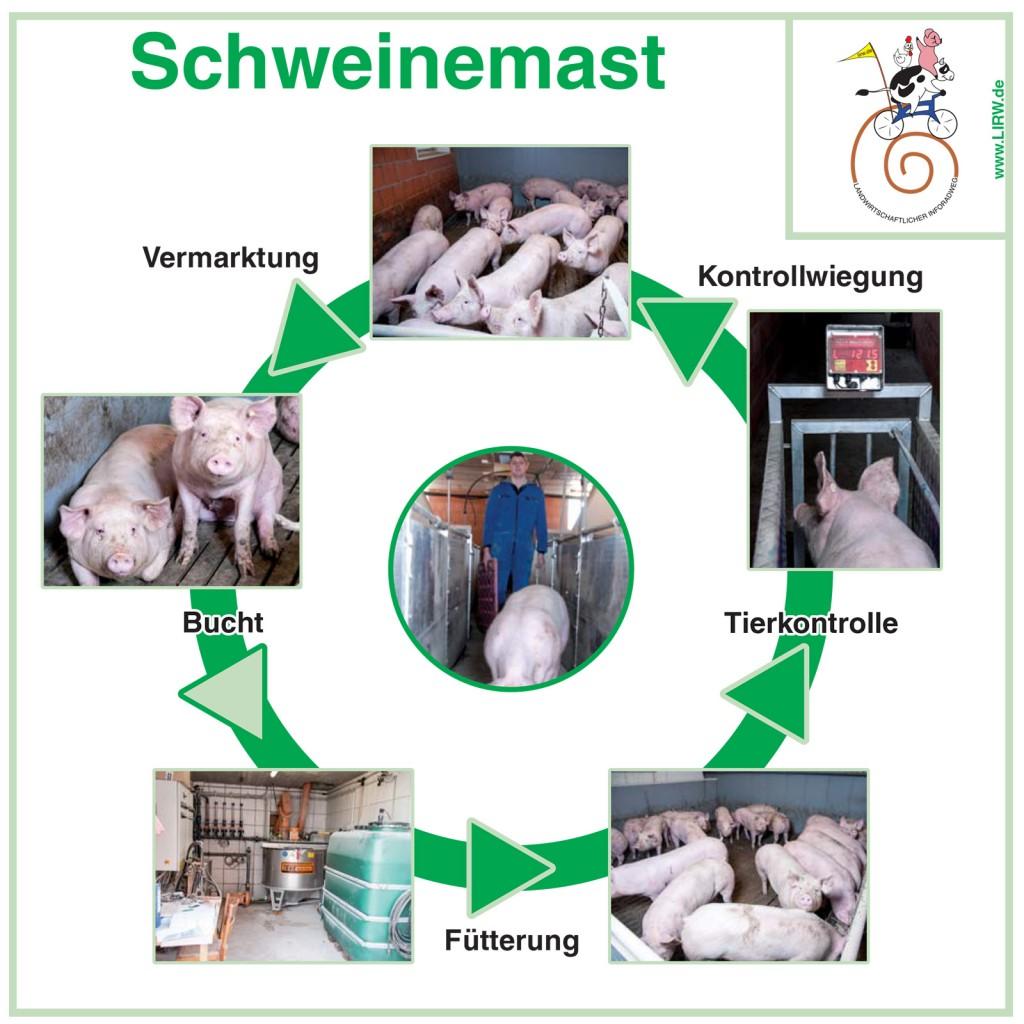 LIRW-Schweinemast